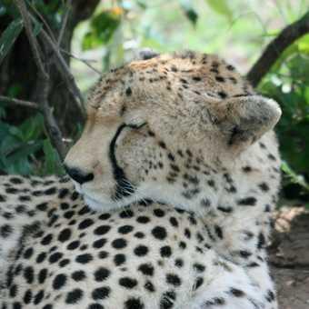 Cheetah sleeping - Masai Mara