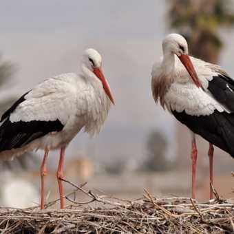 Storks nesting on El Badi Palace