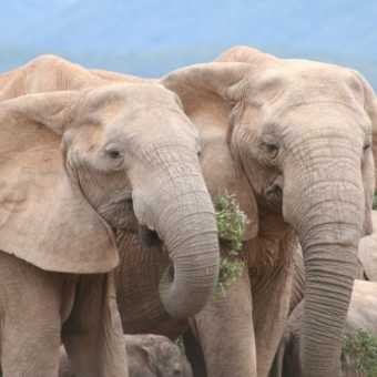 Elephants, Addo Elephant National Park