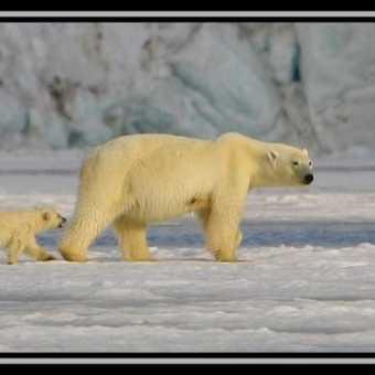 Polar Bear & Cub 8