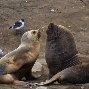 South American Seal Lions, Isla Marta