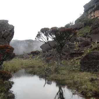 The Roraima tree