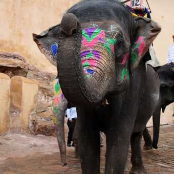 Elephants taking people up to the Amber Fort in Jaipur