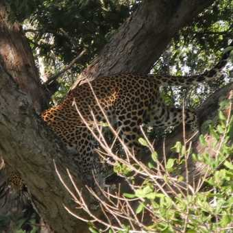 Leopard coming down the tree