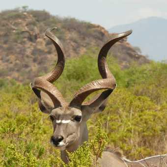 Wonderful male Kudu at samburu