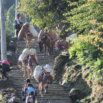 School children having to battle past the donkeys on the way to school in Chomrong