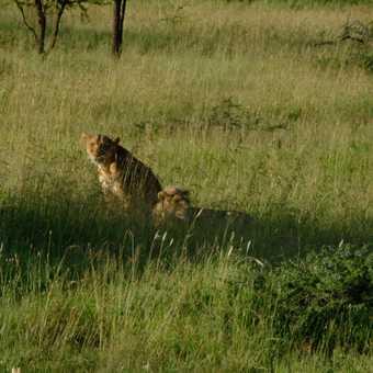 Lions near wild camp