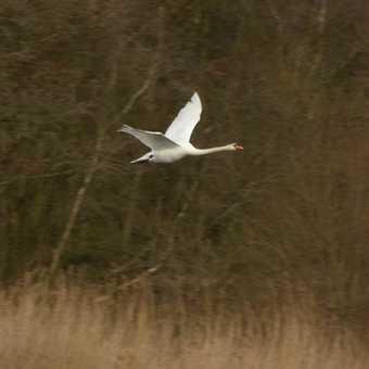 Flying Mute Swan
