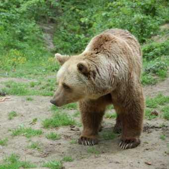 Bear in Zarnesti bear sanctuary