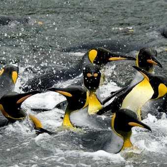 Auckland Isle : King Penguins