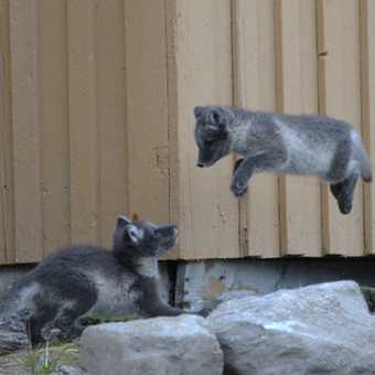 Arctic fox cubs - big air