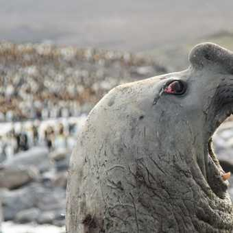 Male Elephant seals are ugly!