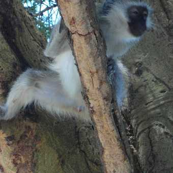 lake Nakuru ... black faced monkey ... just has to be a monkey picture somewhere!