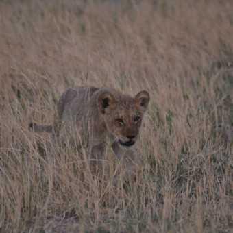 Moremi lion cub