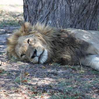 Snoozing lion