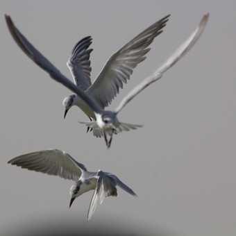 Pelican in flight, Djoudj N.P.