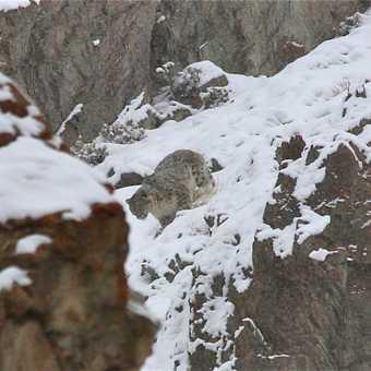 snow leopard Rhumbak valley