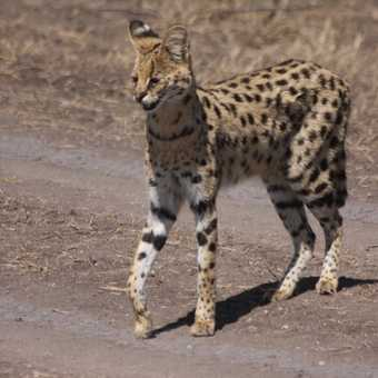 The rarely seen serval cat