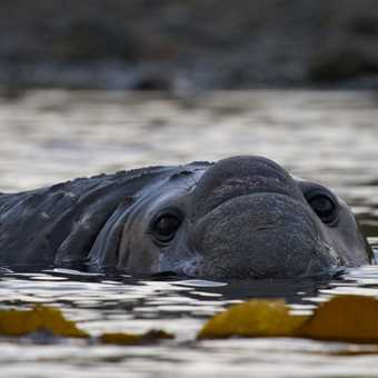 Elephant seal in Kelp, Prince Olaf Harbour