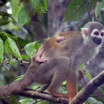 Common Squirrel Monkey.  Large group seen from the creek between the lodge and the Napo river.