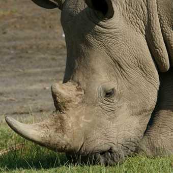 White rhino on shores on Lake Nakuru, Kenya