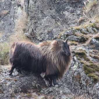 Mountain Goat of Everest