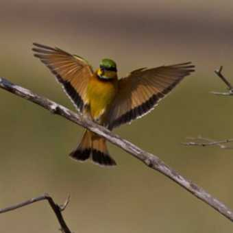 Beautiful bee eater lands.