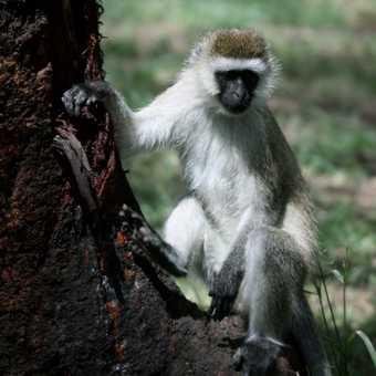 Vervet monkey - L Nakuru camp