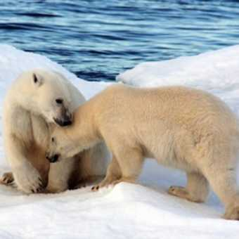Polar bear and yearling, Hinlopen Strait.