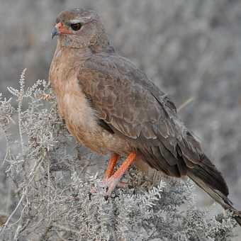Bird of Prey, Etosha NP