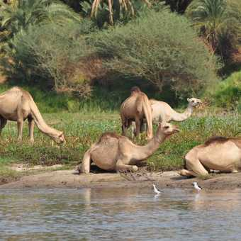 Camels on the bank of the Nile
