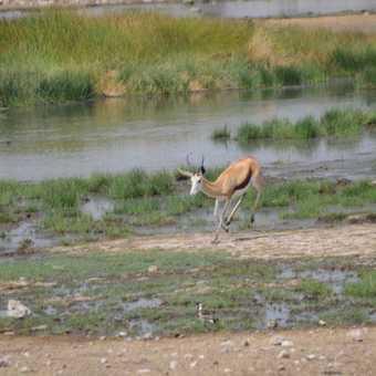 Springbok & Water