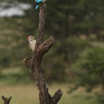 Kingfisher and friend