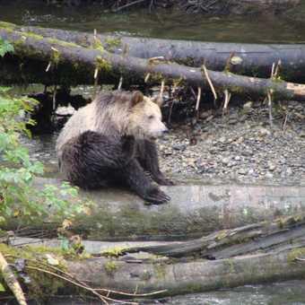 Scratching bear