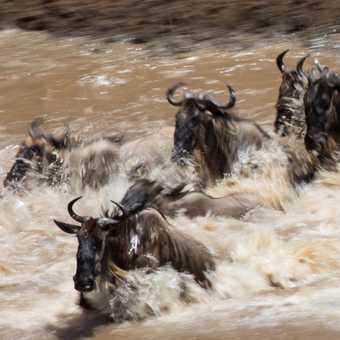 wildebeast crossing