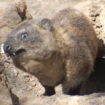 ROCK HYRAX - CAUGHT IN THE MOMENT