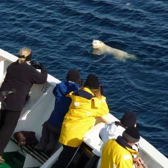 Swimming bear by ship
