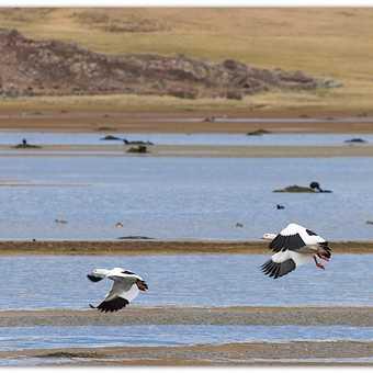 Andean geese at Conococha
