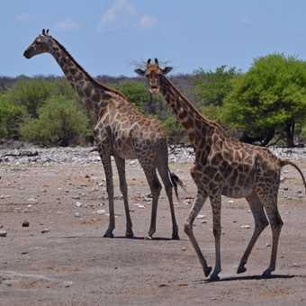 Cheeky giraffe