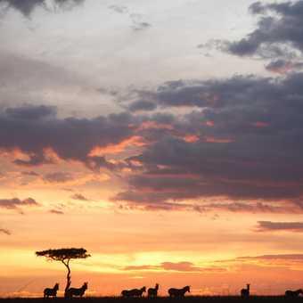 Zebra on the skyline at sunset