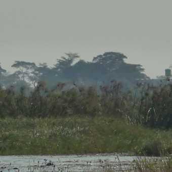 Cormorant by the Chobe River