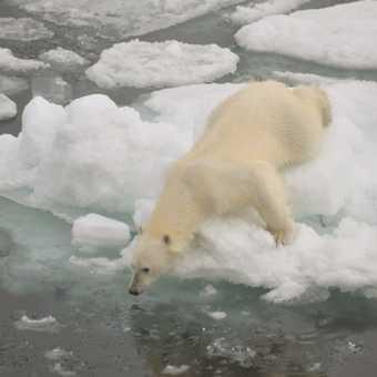 Polar bear bonanza
