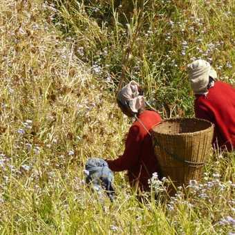 Harvesting - Near Hyangja