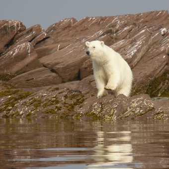 Island Bear