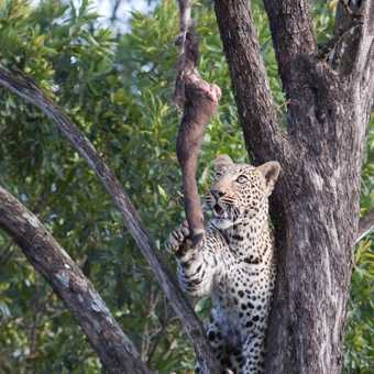 Leopard with meal
