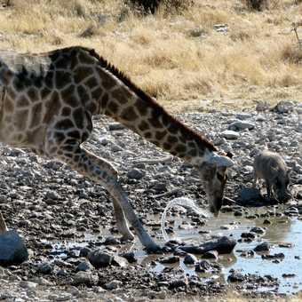 Giraffe mishap with the water, Etosha, Namibia