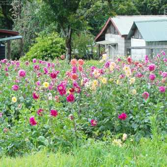 Kembu .... dahlias grown on the farm for dying the wool.