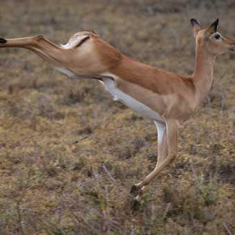 Jumping Impala