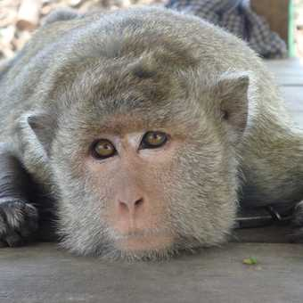 Chained up Monkey