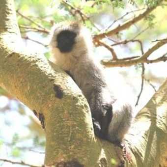 Monkey -Jinja